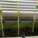 枝豆 発芽のコツとプランターでの育て方。苗がひょろひょろしているときはどうすればいい?