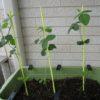 枝豆 摘心しないで育ててます!ぐんぐん成長中