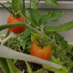 家庭菜園 今年も豊作の予感